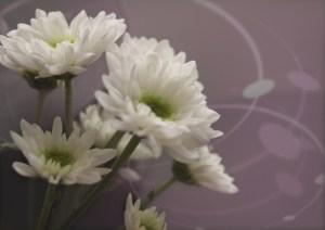 Spray mums (Mourning image)